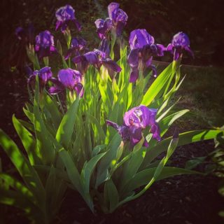 Last year this poor iris was so crowded it only had one sad little bloom. This year - a purple explosion!